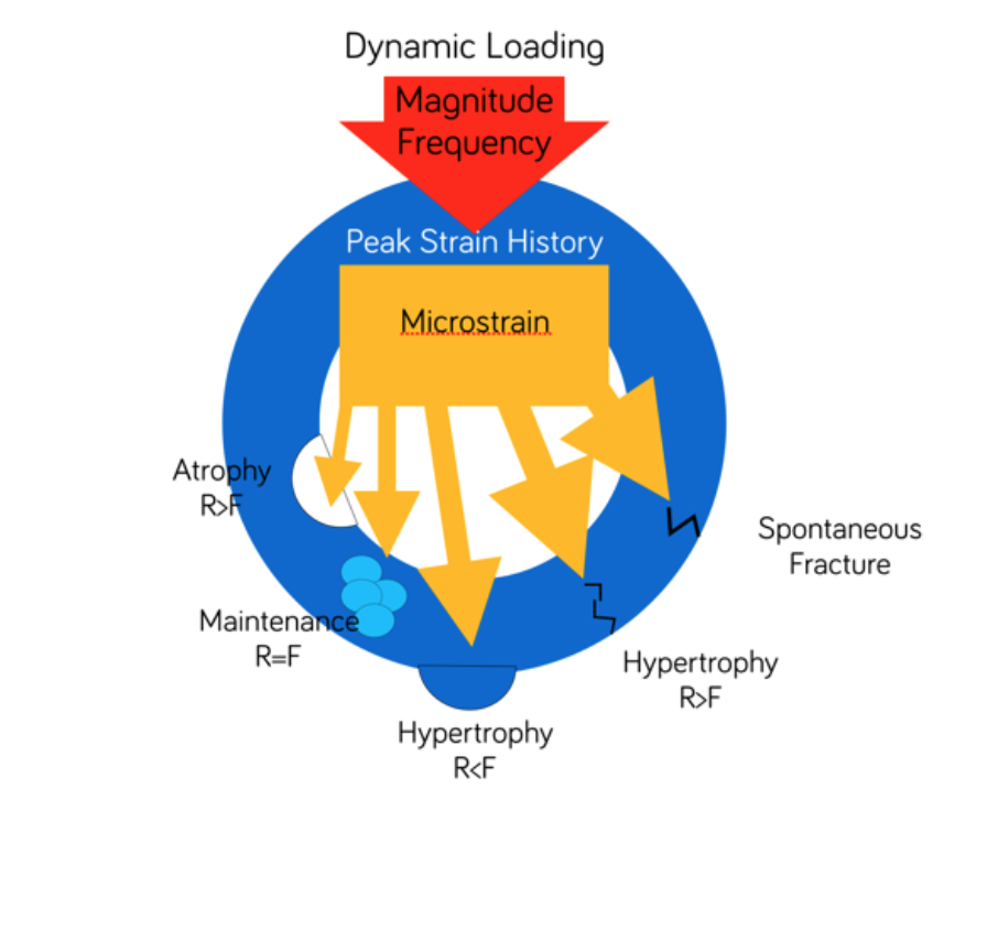 Mechanostat Theory (Frost 1996).png